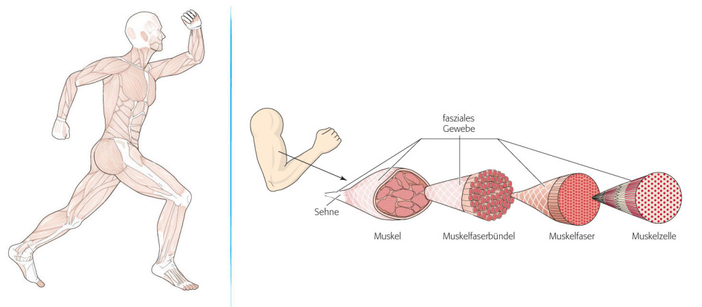 """Bild 1: Das fasziale Netzwerk umgibt wie ein Anzug mit unzähligen Taschen den ganzen Körper. Jede Tasche geht dabei nahtlos in zahlreiche weitere Beutel über. Durch dieses endlose """"Beutel-in-Beutel""""-Prinzip ist das fasziale Netz im Körper allgegenwärtig. Bild 2: Die tiefere Faszienschicht umgibt sowohl den Muskel als Ganzes als auch jeden Bestandteil im Einzelnen. Alle diese """"Hüllen"""" laufen am Ende des Muskels zusammen und werden zu Sehnen. © BLV Buchverlag, Faszien-Training – jünger, schöner & beweglicher"""